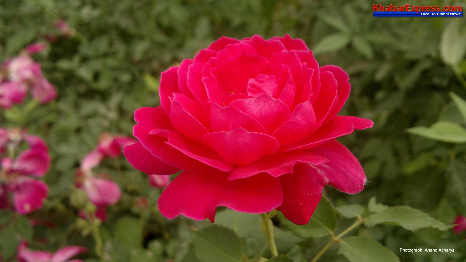 Rose Wallaper 1920x1048
